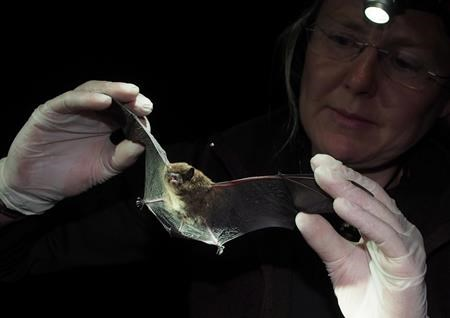 """Just like eating yogurt"" – scientists hope to end epidemic in bats"